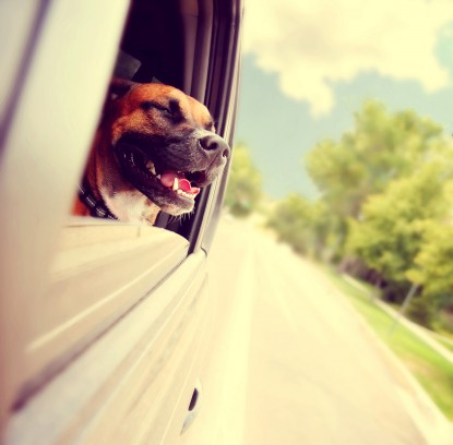 a dog out enjoying a card ride during summer toned with a retro